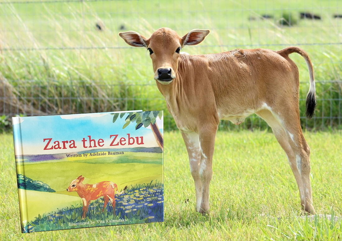 """A zebu calf stands in the grass next to a children's book titled """"Zara the Zebu"""" by Adelaide Bauman. The text above the calf reads """"Available Now!"""""""